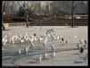 广场鸽驯养和公?#38797;?#40509;图片价格