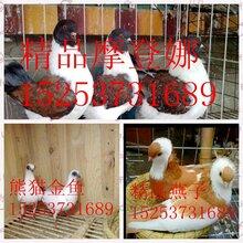 种鸽蛋,肉鸽蛋价格营养丰富的鸽子蛋价格图片