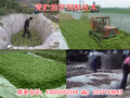 贵州玉米秸秆青贮饲料发酵剂如何青贮饲料喂牛羊技术总结!图片
