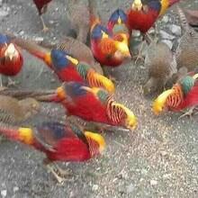 供应红腹锦鸡价格图片
