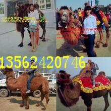 一头骆驼多少钱图片
