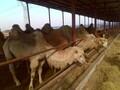 哪里有卖骆驼肉的骆驼肉价格图片