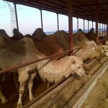 哪里卖骆驼图片