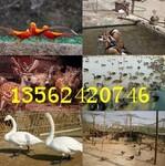 供应黑天鹅养殖黑天鹅种苗多少钱一对图片