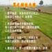 河源大量出售馬尼拉草坪/臺灣草皮哪里有賣