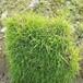 河源古竹台湾草皮/马尼拉草坪多少钱一捆