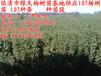 107速生杨树苗