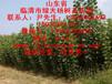 107杨树苗价格最低杨树苗价格