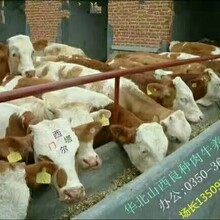 出售良种肉牛优质奶牛