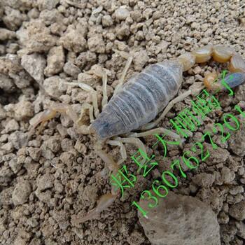 为何淘汰温室恒温蝎子养殖方法