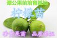 土柠檬柠檬苗广东惠东30公分-40公分高柠檬苗销售