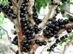 广东惠东30公分-2米高树葡萄苗,嘉宝果苗