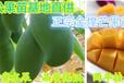 广东惠东芒果苗金煌芒果苗60cm-80cm高芒果苗芒果嫁接苗销售