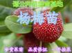 广东惠州60-80公分高杨梅苗杨梅嫁接苗营养杯苗成活率高