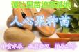 哪里有人心果苗?广东惠州(20-30公分高)优质人心果苗人参果苗营养杯苗