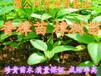 惠州惠东小叶香樟苗两年生80公分-1米高香樟树苗樟树苗