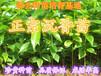 哪里有卖沉香苗?广东惠州30公分-1.5米高袋装沉香苗沉香营养杯苗