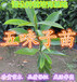 五月茶小苗销售,广东惠东大量五月茶种苗供应