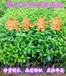 广东惠州大量铁冬青苗(60-80公分高)万紫千红树苗销售