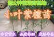 小叶紫檀广东惠州20-30公分小叶紫檀苗优质紫檀苗批发