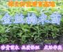 广东惠东40-50公分高金丝楠木楠木袋苗金丝楠木苗批发销售