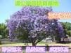 惠州市1.5米高蓝花楹小苗园林绿化蓝花楹苗销售