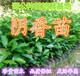 广东惠州大量(1米高)阴香苗阴香树假植苗天竺桂销售批发