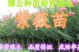 惠州惠东1.2-1.5米高紫薇袋苗低价出售旺盛紫薇苗销售批发