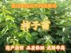 哪里有卖柿子苗?广东惠东60-80公分高柿子苗高产柿子嫁接苗