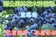 广东惠东40-60公分高蓝莓苗,名贵果苗蓝莓袋苗销售
