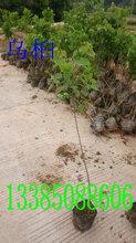 乌桕苗乌桕袋苗乌桕工程袋苗图片