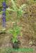 娜塔櫟袋苗娜塔櫟苗娜塔櫟種子
