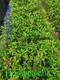 N娜塔栎袋苗2