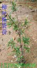 柳叶栎袋苗柳叶栎苗柳叶栎种子图片