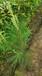 濕地松大袋苗濕地松無紡布大袋苗濕地松大杯苗