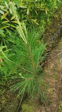 福新苗圃外国松,巢湖湿地松苗服务至上图片