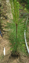 漳州湿地松苗厂家直销,美国松图片
