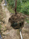 s湿地松大袋苗3