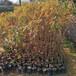 山乌桕袋苗高度50厘米山乌桕无纺布袋苗山乌桕杯苗