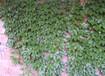 供应泰安市伟华苗圃专业种植卫毛、爬山虎、常春藤、龙柏