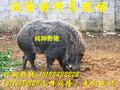 现在买一只野猪苗多少钱、大规模野猪养殖场联系方式图片