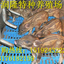 野猪养殖基地-野猪养殖技术-野猪养殖场图片