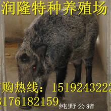 那里有野猪仔苗出售特种野猪多少钱一只