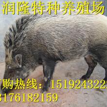 野豬養殖場怎么建設、野豬養殖場在哪圖片