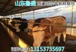 许昌市鲁西黄牛价格