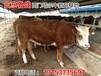 普洱市鲁西黄牛肉牛犊行情