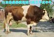 佳木斯市哪儿出售鲁西黄牛