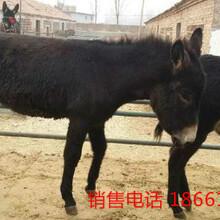 黑龙江肉驴价格图片