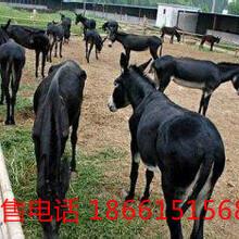 养10头肉驴一年的利润图片