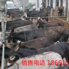 山东肉驴价格图片